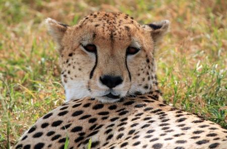 maasai mara: Cheetah  Acinonyx Jubatus  Portrait, Maasai Mara, Kenya
