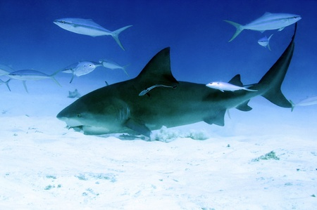 bull shark: Bull Shark  Carcharhinus Leucas  Feeding from Sand Bottom, Playa del Carmen, Mexico Stock Photo