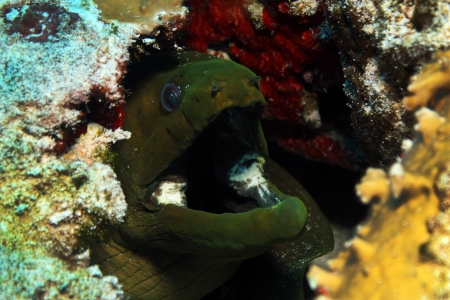 cozumel: Green Moray Funebris Gymnothorax con la boca abierta, Primer plano, Cozumel, M�xico