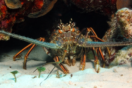Caribbean Spiny Lobster  Panulirus Argus , Cozumel, Mexico photo