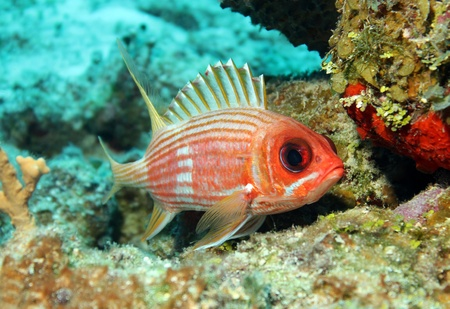 Longspine Squirrelfish  Holocentrus Rufus , Cozumel, Mexico photo