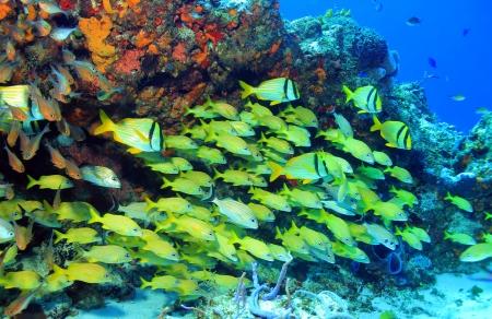 grunt: School of Porkfish  Anisotremus Virginicus , French Grunt  Haemulon Flavolineatum  and Caesar Grunt  Haemulon Carbonarium , Cozumel, Mexico Stock Photo