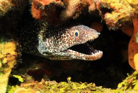 cozumel: Primer plano de un Spotted Moray Gymnothorax moringa con la boca abierta, Cozumel, M�xico Foto de archivo