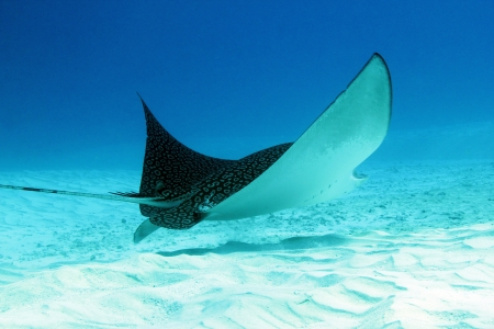 Spotted Eagle Ray  Aetobatus Narinari  Over White Sand Bottom, Cozumel, Mexico Stock Photo