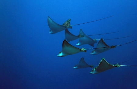 Seven Spotted Eagle Rays (Aetobatus Narinari) in the Blue, Cozumel, Mexico
