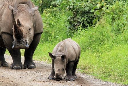 nakuru: White Rhino (Ceratotherium Simum) With Calf, Lake Nakuru, Kenya Stock Photo