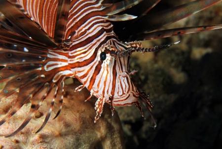 pterois: Close-up of a Common Lionfish  Pterois Volitans , South Male Atoll, Maldives