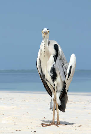 south male atoll: Grey Heron  Ardea Cinerea  Cooling off on the Beach and Starring into the Camera, Bodufinolhu, South Male Atoll, Maldives