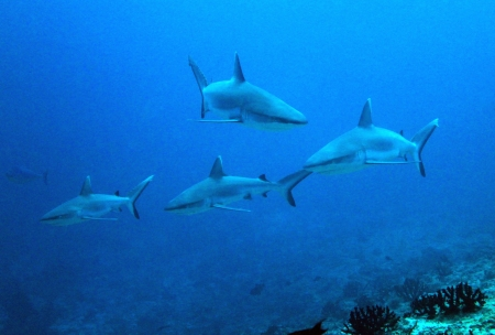 south male atoll: Four Grey Reef Sharks  Carcharhinus Amblyrhynchos  at Guraidhoo Corner, South Male Atoll, Maldives