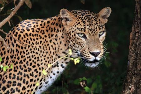 Portrait of an Sri Lankan Leopard  Panthera Pardus Kotiya , Yala, Sri Lanka