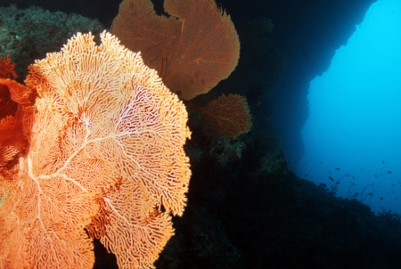gorgonian: Gorgonian Fan Corals on Reef Wall with Blue Water, South Male Atoll, Maldives