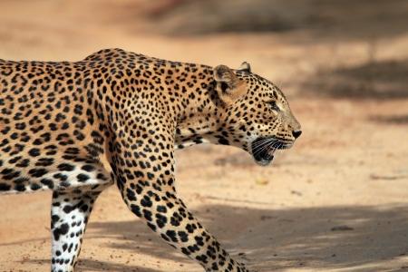 yala: Close Profile View of a Sri Lankan Leopard  Panthera Pardus Kotiya  Crossing a Sandy Road, Yala, Sri Lanka