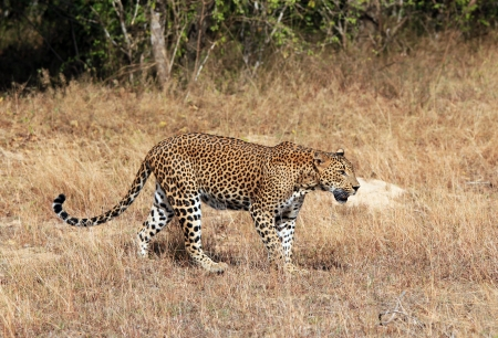 yala: Sri Lankan Leopard
