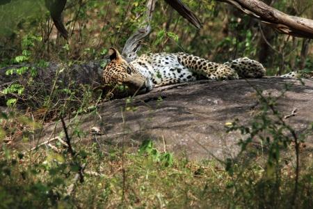 yala: Eye Contact with a Sri Lankan Leopard