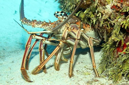 Close-up of a Caribbean Spiny Lobster  Panulirus Argus  on Sand Bottom, Looking out from its Cavern, Cozumel, Mexico