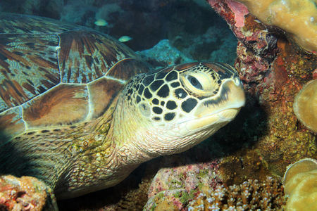 south male atoll: Close-up of a Green Turtle  Chelonia Mydas  Resting on the Reef, South Male Atoll, Maldives Stock Photo