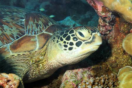 tortue verte: Gros plan sur une tortue verte Chelonia mydas reposant sur le r�cif, South Male Atoll, Maldives