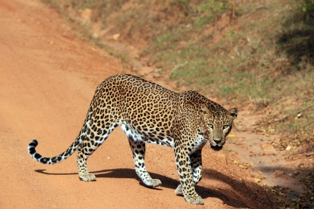 Lankesian Leopard  Panthera Pardus Kotiya  Crossing a Sandy Road and Looking into the Camera, Yala, Sri Lanka Stock Photo