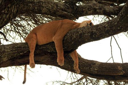 power nap: Lioness  Panthera Leo  Napping in a Tree, Serengeti, Tanzania Stock Photo