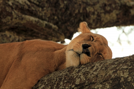 Lioness  Panthera Leo  Napping in a Tree, Serengeti, Tanzania photo