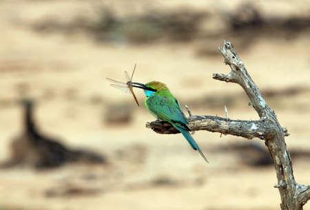 yala: Green Bee-eater  Merops Orientalis  Just Caught a Dragonfly, Yala National Park, Sri Lanka Stock Photo