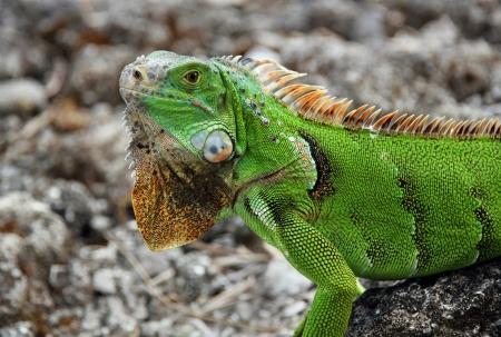 Green Iguana  Iguana Iguana , Cozumel, Mexico Stock Photo