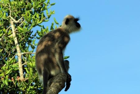 gray langur: Profile View of a Grey Langur  Semnopithecus Schistaceus  on a Branch, Bundala National park, Sri Lanka