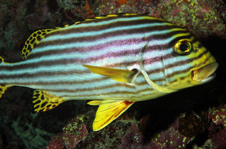 vittatus: Oriental Sweetlips  Plectorhinchus Vittatus  Stock Photo