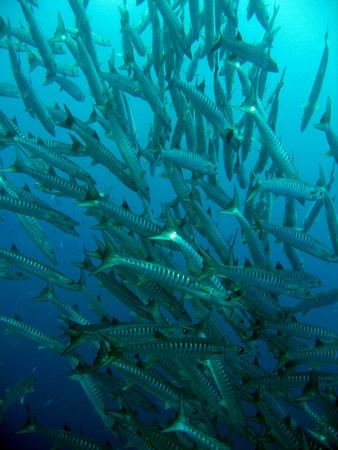 Sawtooth Barracudas, Balicasag, Philippines photo