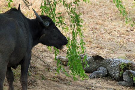 palustris: Asian Water Buffalo  Bubalus Bubalis  and Mugger Crocodile  Crocodylus Palustris  Yala National Park, Sri Lanka Stock Photo