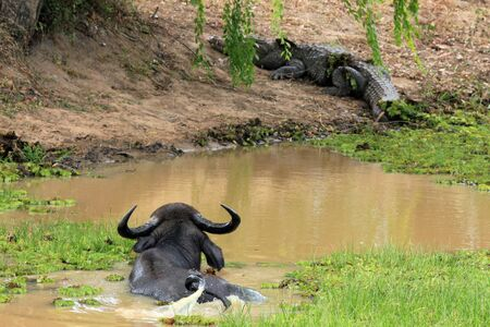 mugger: Asian Water Buffalo  Bubalus Bubalis  in a Pond, Spotting a Mugger Crocodile  Crocodylus Palustris  on the Shore, Yala National Park, Sri Lanka Stock Photo