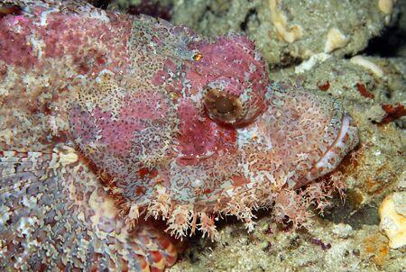 scorpionfish: Close-up of a Bearded Scorpionfish, South Male Atoll, Maldives Stock Photo