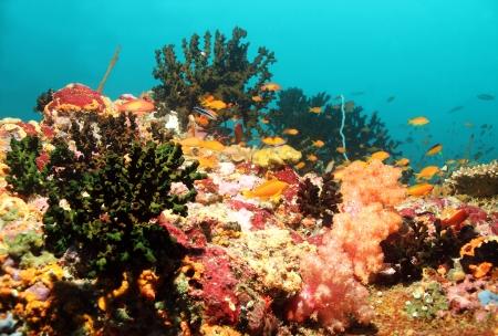 south male atoll: Coral Reef, South Male Atoll, Maldives