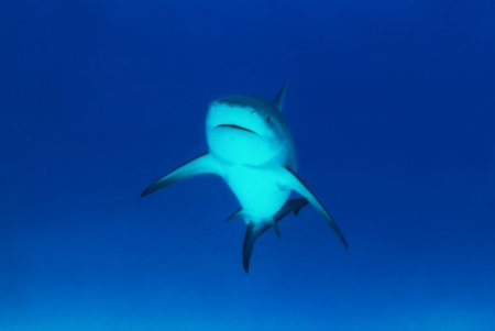 Bull Shark  Carcharhinus Leucas  Approaching, Playa del Carmen, Mexico photo