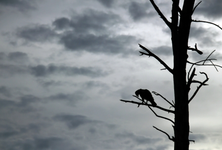 Crested Hawk-Eagle  Nisaetus cirrhatus  in Silhouette on Branch, Bundala National Park, Sri Lanka photo