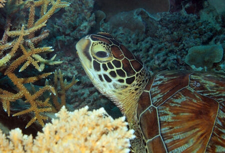 chelonia: Close-up of a Green Turtle  Chelonia Mydas  Resting on the Reef, South Male Atoll, Maldives Stock Photo