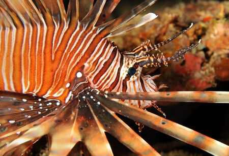 common lionfish: Close-up of a Common Lionfish  Pterois Volitans , South Male Atoll, Maldives