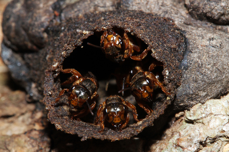 Mexican Honey Wasps  Brachygastra Mellifica , Tulum, Mexico Stock Photo