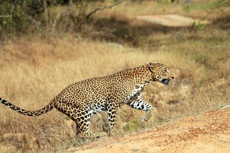 Sri Lankan Leopard  Panthera Pardus Kotiya  Walking, Yala, Sri Lanka