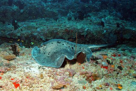 spotted ray: Black-blotched Stingray  Taeniurops Meyeni