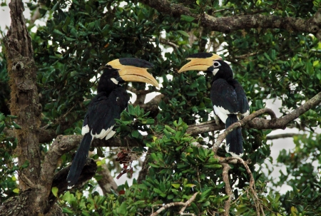 Malabar Pied Hornbills  Anthracoceros Coronatus  in a Tree, Yala National Park, Sri Lanka photo