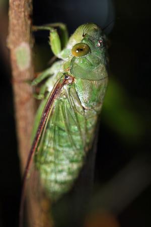 taman: Cicada, Taman Negara, Malaysia Stock Photo