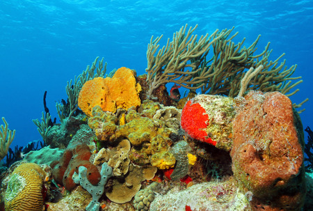 coral reef: Corals against Surface, Cozumel, Mexico