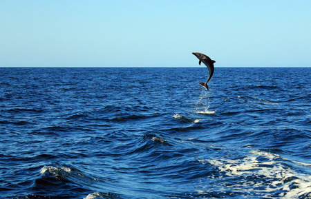 Common Bottlenose Dolphin  Tursiops Truncatus  Taking a Big Jump out of the Water, Catalina Islands, Costa Rica photo