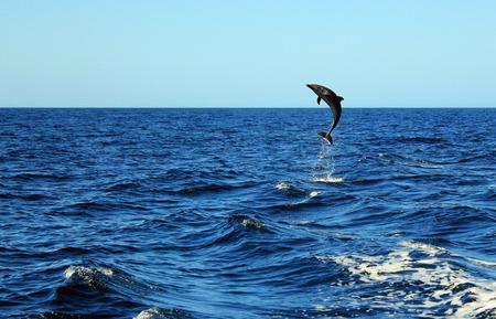 Mular Delfín común Tursiops Truncatus dando un gran salto fuera del agua, Isla Catalina, Costa Rica Foto de archivo