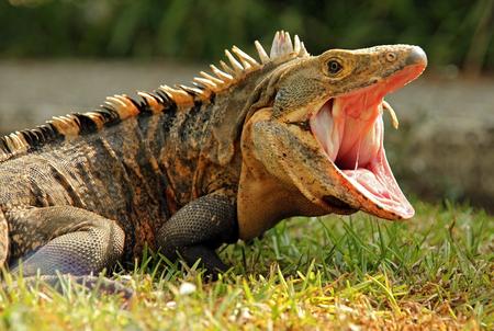 Close-up di un Ctenosaur Nero aka Nero dalla coda spinosa Iguana, Iguana Nero, comune dalla coda spinosa iguana - Ctenosaura similis Con La Bocca Aperta, Dominical, Costa Rica