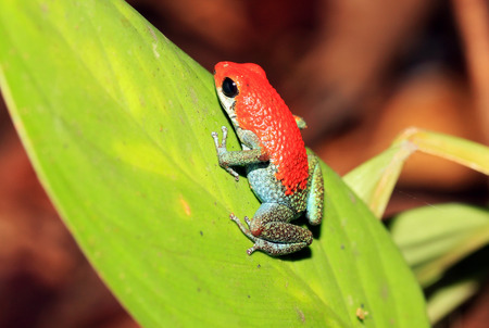 strawberry frog: Strawberry Poison-dart Frog  aka Blue Jeans Poison-dart Frog - Dendrobates Pumilio , On a Leaf, Drake Bay, Osa Peninsula, Costa Rica
