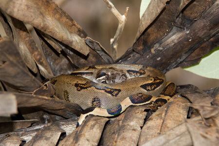 constrictor: Boa Constrictor  Boa Constrictor , Corcovado National Park, Costa Rica Stock Photo
