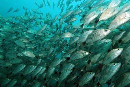 School of Spottail Grunts  Haemulon Maculicauda , Caño Island, Costa Rica