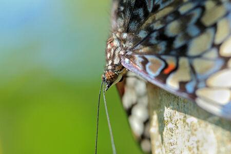 guatemalan: Close-up of a Guatemalan Cracker Butterfly  Hamadryas Guatemalena , Costa Rica